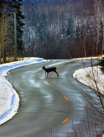 Minnesota white tail deer on North Shore  - #0180