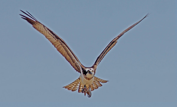 Female Osprey in Shoreview, Mn., #0685