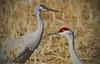 Sandhill Cranes - Socorro, NM - Bosque del Apache, #0245