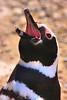 Magellanic Penguin, Argentina  - #0019