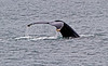 Humpback whale, Alaska  - #0141