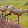 Mother and calf bighorn sheep, Badlands National Park,#0723