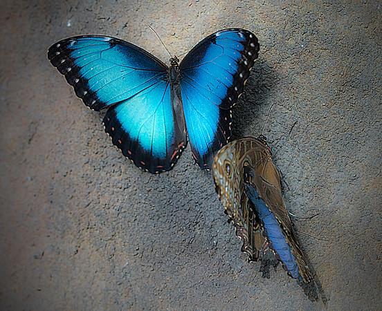 Blue Morpho, #1326