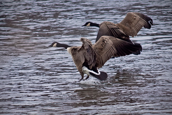 In-flight Canadian Goose on Mississippi River, Monticello, Minnesota - #0341