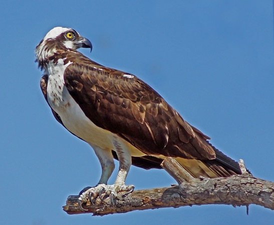 Male Osprey in Shoreview, Mn., #0684