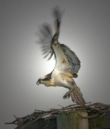 Female Osprey, St. Paul, Minnesota  - #0196