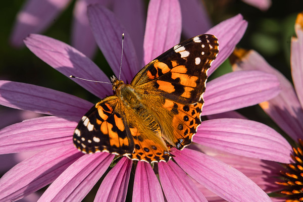 Painted Lady Butterfly, #2005