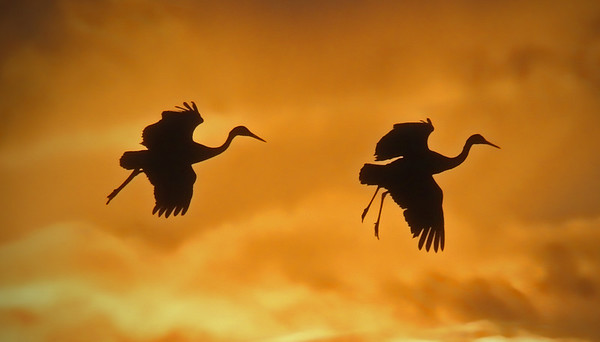 Sandhill Cranes at sunset - Socorro, NM - Bosque del Apache, #0216