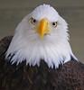 Alaska Bald Eagle  - #0022
