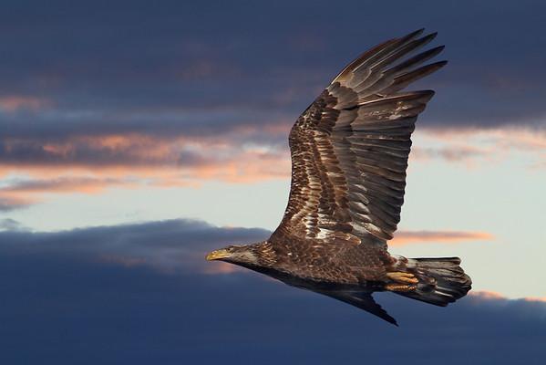 Juvenile Bald Eagle in Minnesota, #0623
