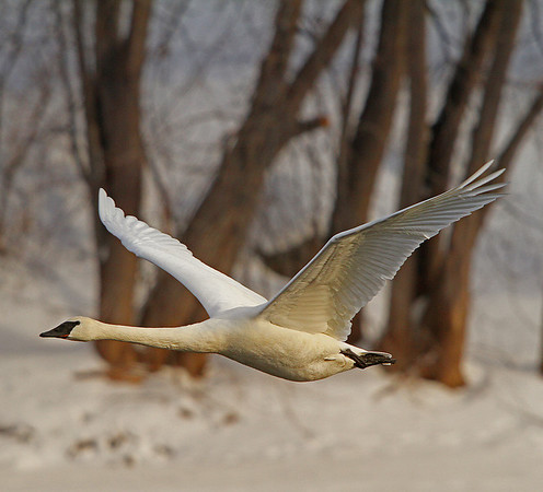 Inflight Trumpeter Swan - #0781