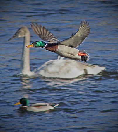 Trumpeter Swans and Mallard - #0613