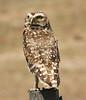 Austral Pygmy Owl, Argentina  - #0005