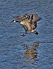 Canada Goose in Minnesota, #0594