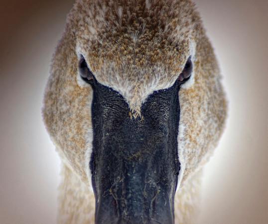Trumpeter swan, #0644