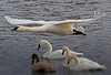 Trumpeter Swan Landing - #0782