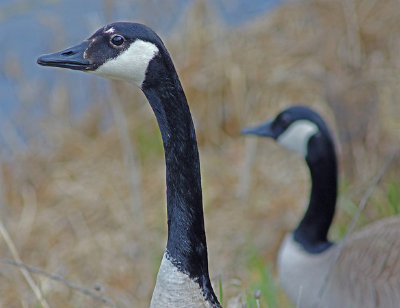 Canadian Geese at Grass Lake, Shoreview, Minnesota - #0333