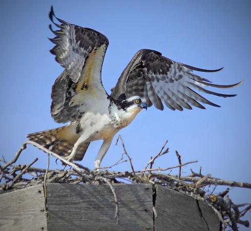 Nesting osprey in Shoreview, Minnesota, Grass Lake - #0335