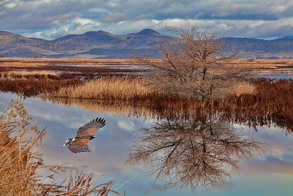 Harris' Hawk in the refuge near Klamath,  Oregon.
