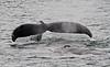 Humpback whale, Alaska - #0142