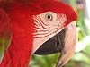 Caribbean Parrot  - #0122