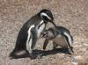 Magellanic Penguin, Argentina  - #0018