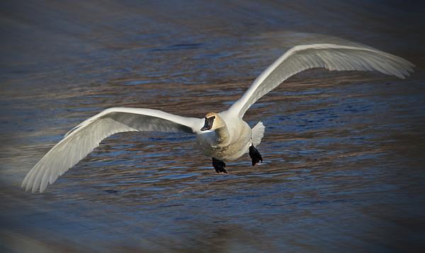 Trumpeter Swan - #0603