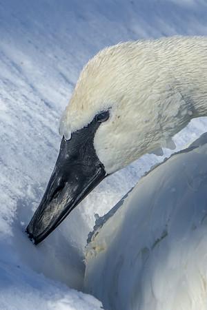 Beak in the snow, Trumpter Swan; #1844