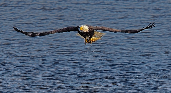 Bald Eagle in Red Wing, Minnesota, #0627