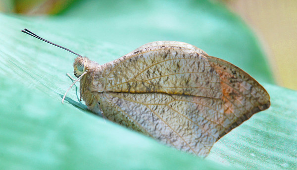 Indian Dead Leaf butterfly on St. Martin island, #0215