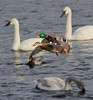 Trumpeter Swans and Mallards - #0789