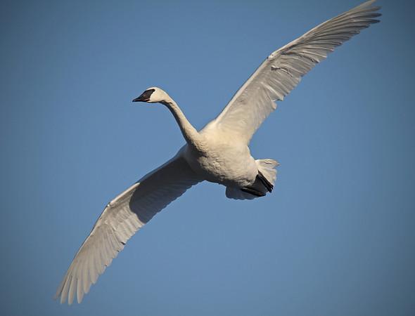 Trumpeter swans, #0599
