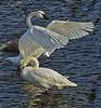 Swan dominance; #1725