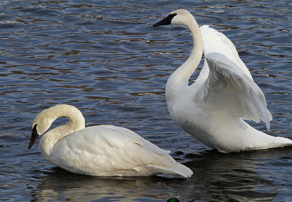 Trumpeter swans, #0791