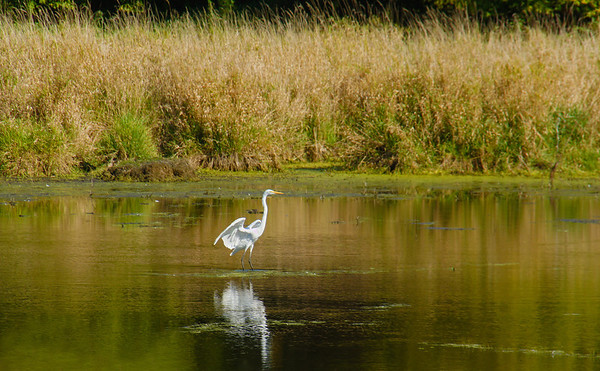 Egret on Shoreview, Mn. pond - #0188