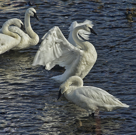 Swans; #1724