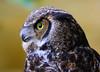 Horned Owl, Alaska - #0009