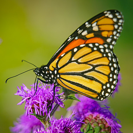 Monarch Butterfly, #1898