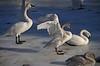 Trumpeter Swan - #0596