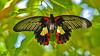 Scarlet Swallow,l #0206