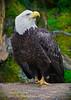Alaskan bald eagle,Anan River,  #0380