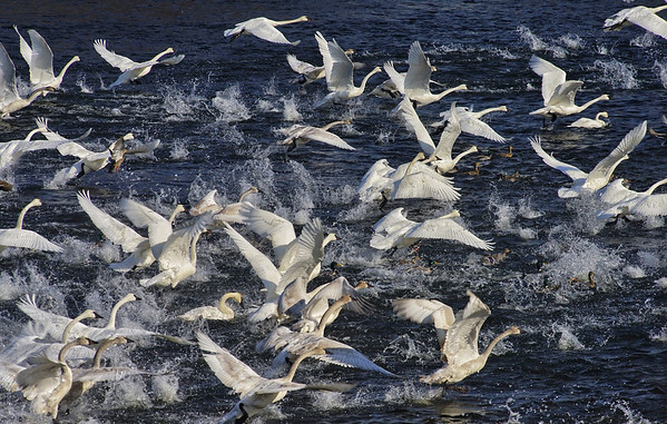 Swans Lifting Off; #1723