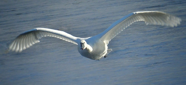 Trumpter Swan; #1714