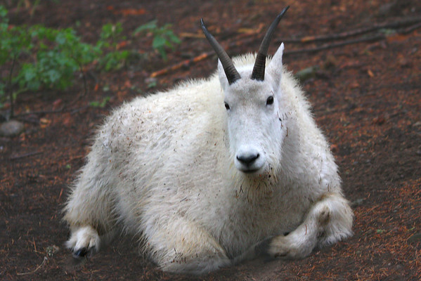 The Rocky Mountain Goat in Washington State  - #0129