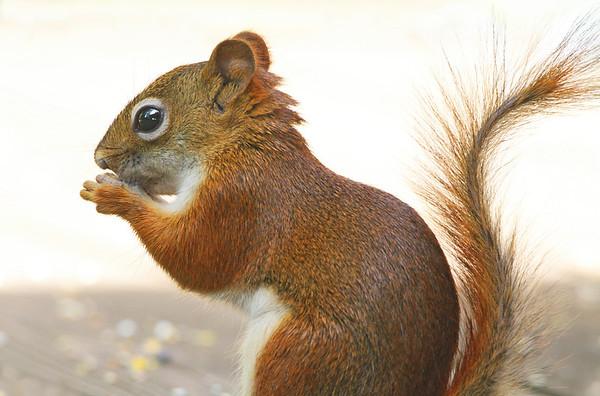 Red Squirrel, St. Paul, Minnesota  - #0030
