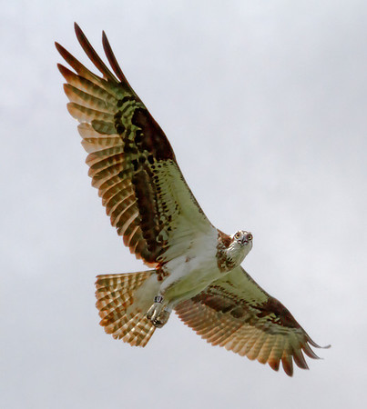 Banded female osprey in Shoreview, Mn - #0693