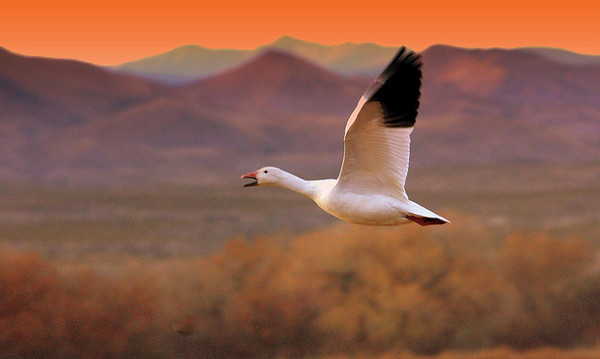 Snow Goose, #0003