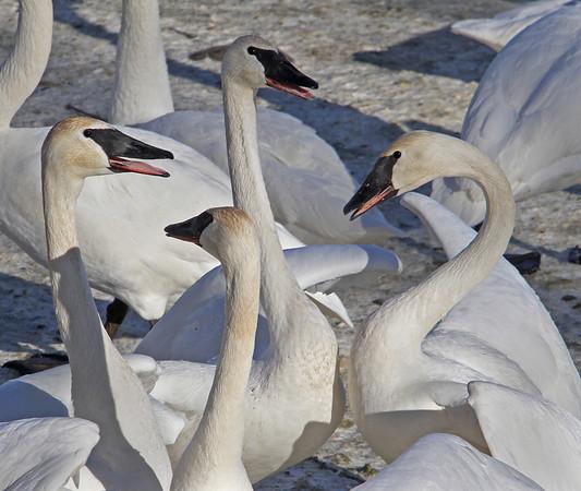 Trumpeter Swan - #0614