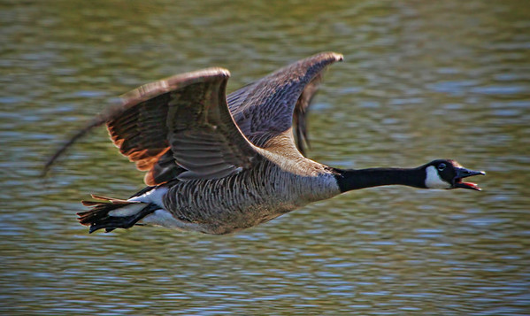 In-flight Canadian Goose at Grass Lake, Shoreview, Minnesota - #0341