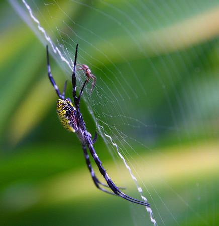 Banana Spider, Maui, Hawaii  - #0034